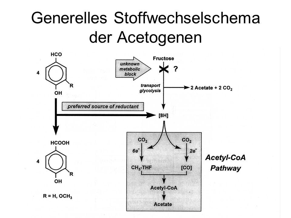 2 Typen von Homoacetogenen Cytochrom-enthaltende die auch Quinone haben –Diese könnten einen Protonengradienten aufbauen –Sie enthalten eine normale protonenabhängige ATPase Nicht Cytochrom enthaltende –keine Membranproteine im Wood-Ljungdahl Pathway  kein Membranpotential aufbaubar –Natrium-abhängige ATPase