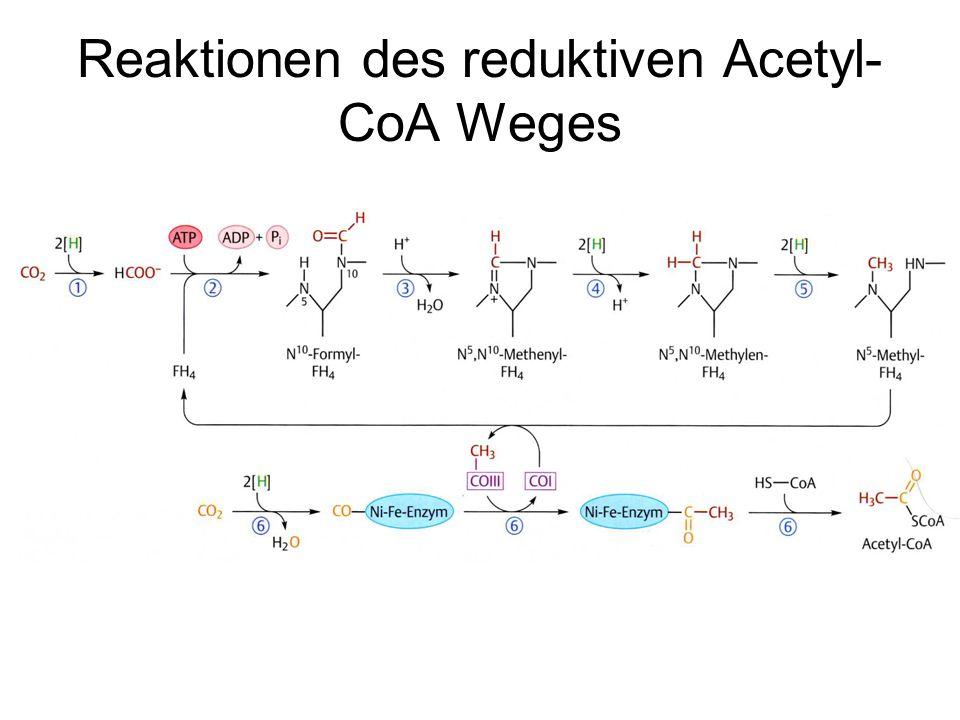Reaktionen des reduktiven Acetyl- CoA Weges