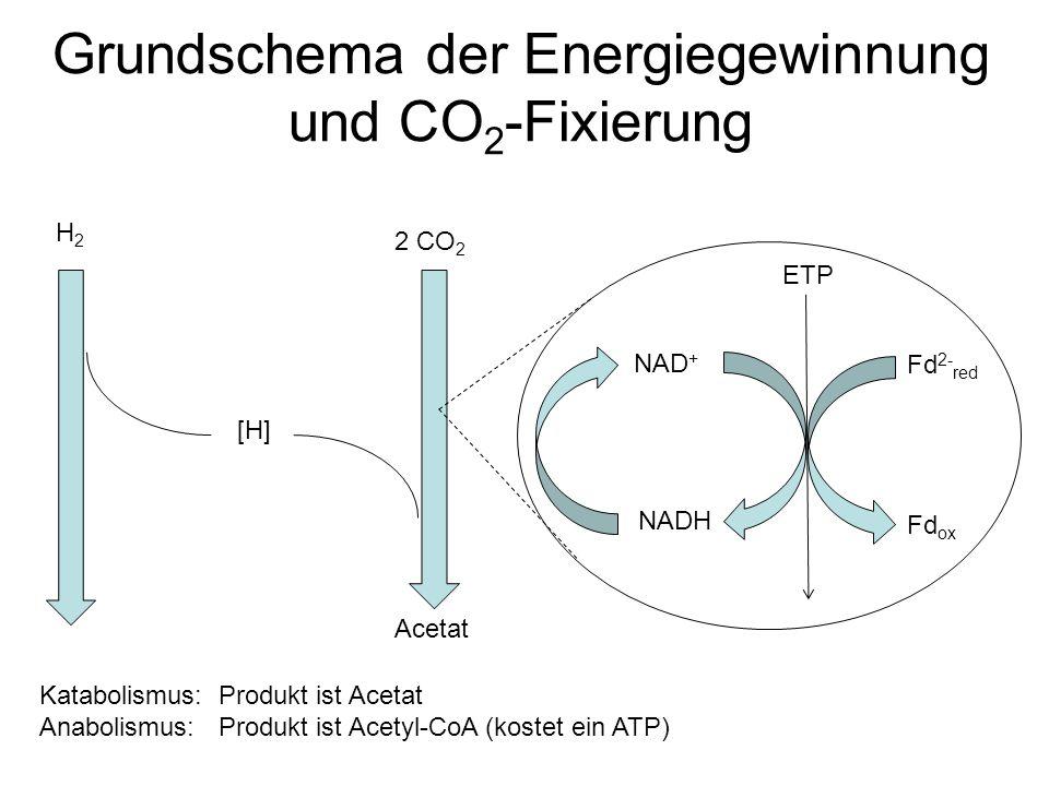Grundschema der Energiegewinnung und CO 2 -Fixierung 2 CO 2 Acetat H2H2 [H] NAD + NADH Fd 2- red Fd ox ETP Katabolismus: Produkt ist Acetat Anabolismu