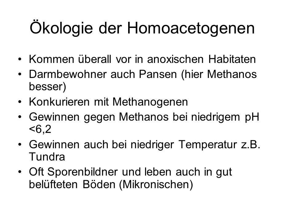Ökologie der Homoacetogenen Kommen überall vor in anoxischen Habitaten Darmbewohner auch Pansen (hier Methanos besser) Konkurieren mit Methanogenen Ge