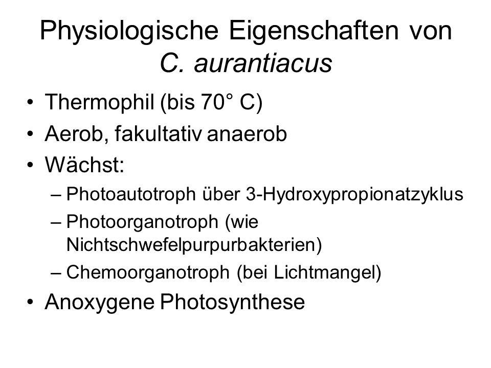 Physiologische Eigenschaften von C. aurantiacus Thermophil (bis 70° C) Aerob, fakultativ anaerob Wächst: –Photoautotroph über 3-Hydroxypropionatzyklus