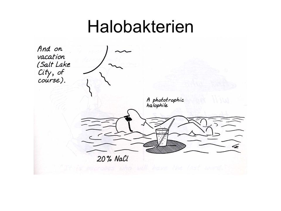 Habitate für Hyperhalophile Phototrophe halophile Einzeller färben das Wasser dieser Salzgewinnungsanlage.