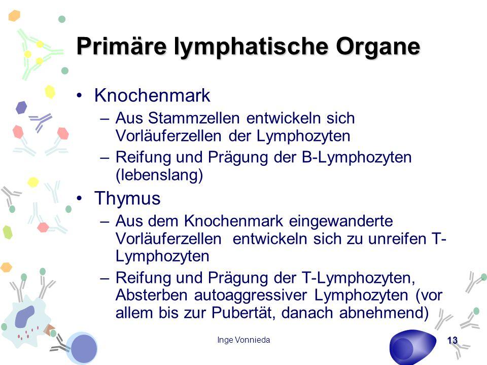 Inge Vonnieda 13 Primäre lymphatische Organe Knochenmark –Aus Stammzellen entwickeln sich Vorläuferzellen der Lymphozyten –Reifung und Prägung der B-Lymphozyten (lebenslang) Thymus –Aus dem Knochenmark eingewanderte Vorläuferzellen entwickeln sich zu unreifen T- Lymphozyten –Reifung und Prägung der T-Lymphozyten, Absterben autoaggressiver Lymphozyten (vor allem bis zur Pubertät, danach abnehmend)