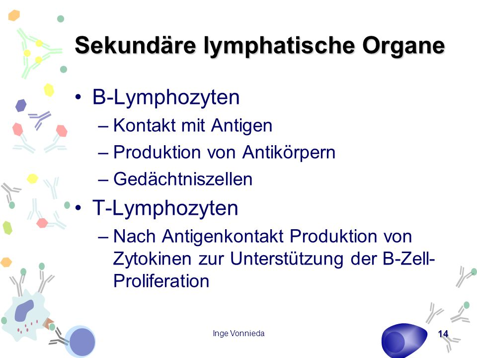 Inge Vonnieda 14 Sekundäre lymphatische Organe B-Lymphozyten –Kontakt mit Antigen –Produktion von Antikörpern –Gedächtniszellen T-Lymphozyten –Nach Antigenkontakt Produktion von Zytokinen zur Unterstützung der B-Zell- Proliferation