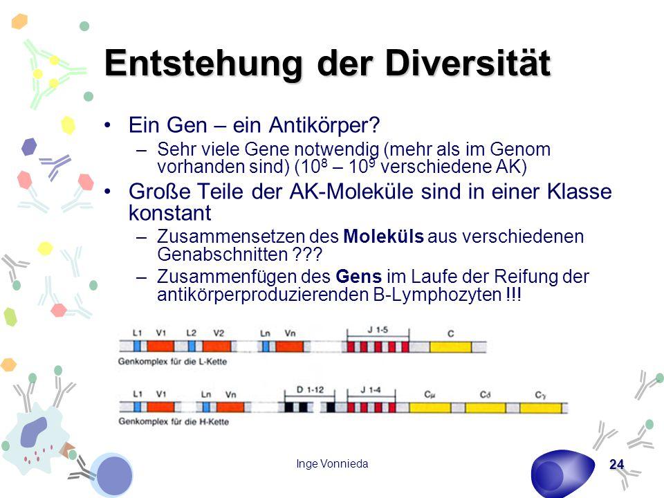Inge Vonnieda 24 Entstehung der Diversität Ein Gen – ein Antikörper? –Sehr viele Gene notwendig (mehr als im Genom vorhanden sind) (10 8 – 10 9 versch