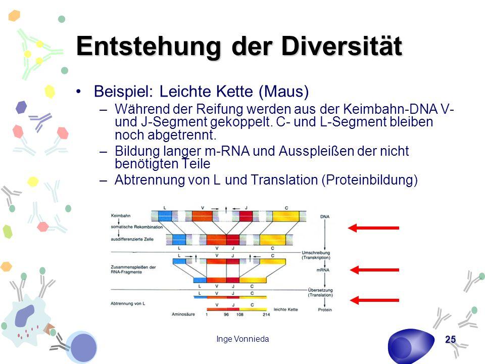 Inge Vonnieda 25 Entstehung der Diversität Beispiel: Leichte Kette (Maus) –Während der Reifung werden aus der Keimbahn-DNA V- und J-Segment gekoppelt.