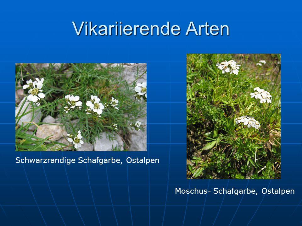Vikariierende Arten Schwarzrandige Schafgarbe, Ostalpen Moschus- Schafgarbe, Ostalpen