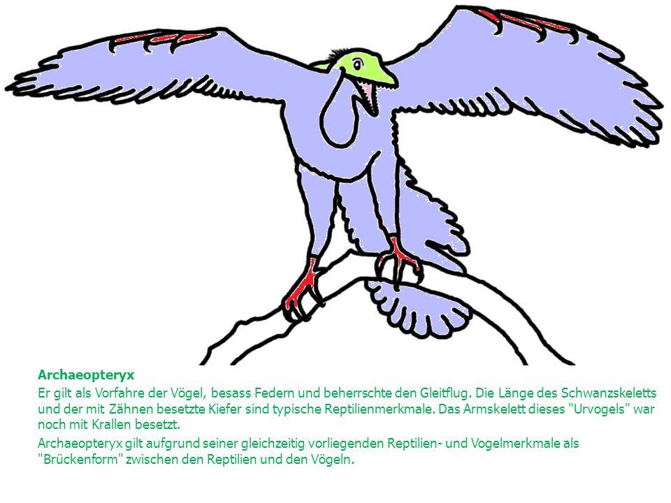 Archaeopteryx Er gilt als Vorfahre der Vögel, besass Federn und beherrschte den Gleitflug. Die Länge des Schwanzskeletts und der mit Zähnen besetzte K