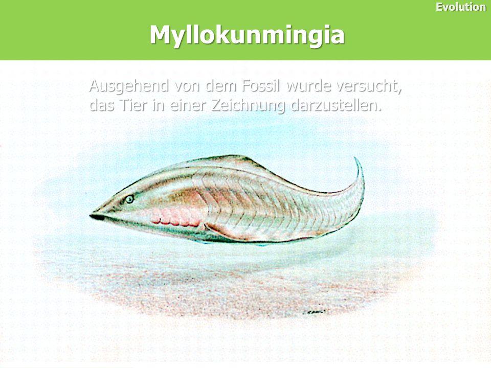 Myllokunmingia Evolution Ausgehend von dem Fossil wurde versucht, das Tier in einer Zeichnung darzustellen.