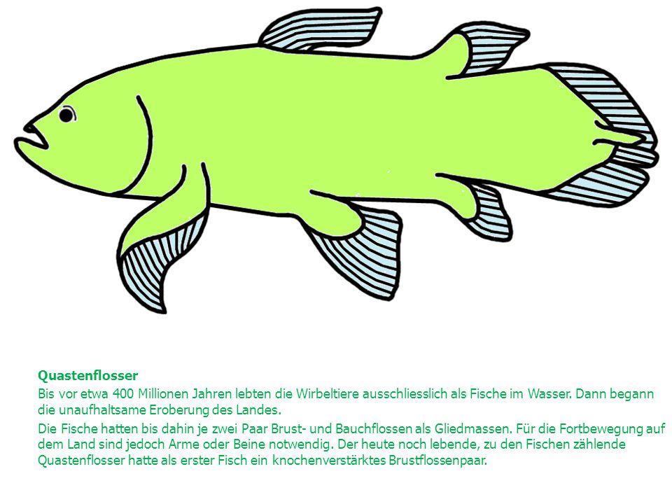 Quastenflosser Bis vor etwa 400 Millionen Jahren lebten die Wirbeltiere ausschliesslich als Fische im Wasser. Dann begann die unaufhaltsame Eroberung