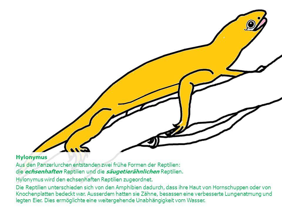 Hylonymus Aus den Panzerlurchen entstanden zwei frühe Formen der Reptilien: die echsenhaften Reptilien und die säugetierähnlichen Reptilien. Hylonymus