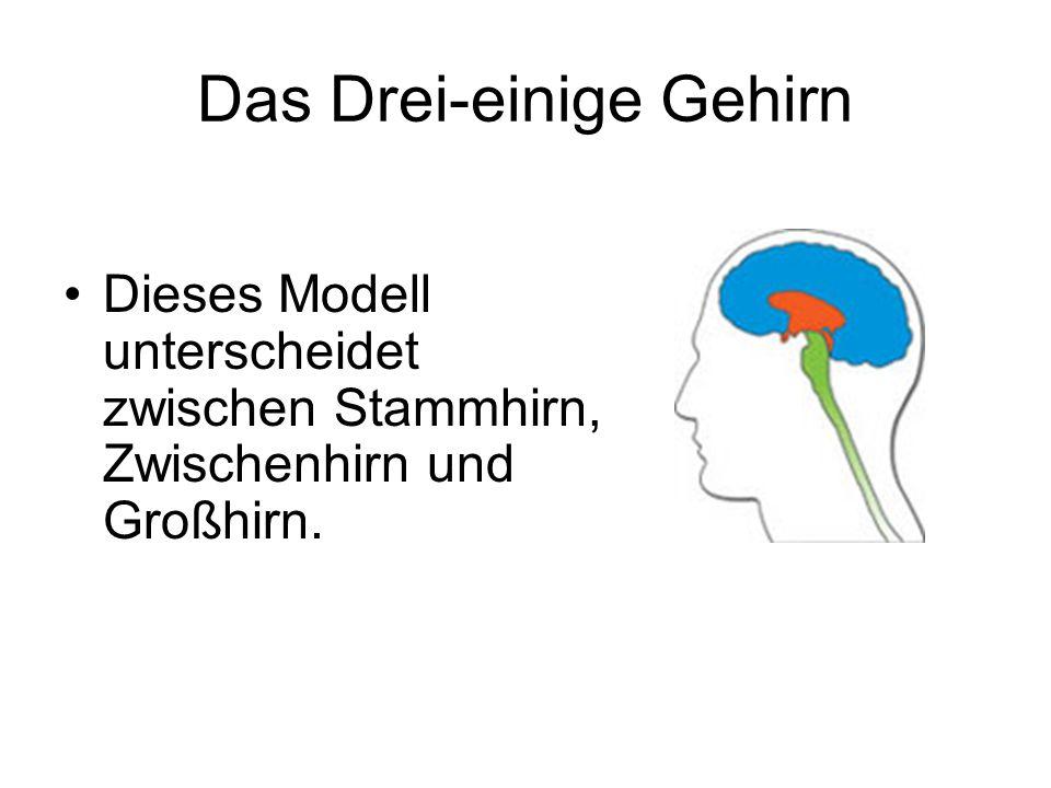 Das Drei-einige Gehirn Dieses Modell unterscheidet zwischen Stammhirn, Zwischenhirn und Großhirn.