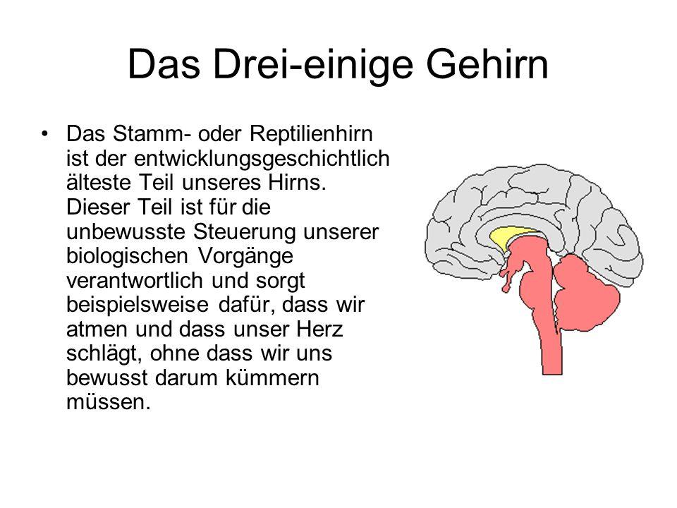 Das Drei-einige Gehirn Das Stamm- oder Reptilienhirn ist der entwicklungsgeschichtlich älteste Teil unseres Hirns. Dieser Teil ist für die unbewusste