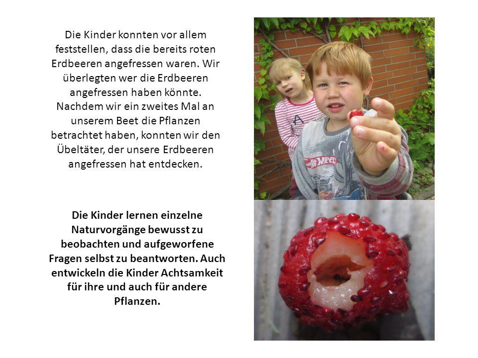 Die Kinder konnten vor allem feststellen, dass die bereits roten Erdbeeren angefressen waren. Wir überlegten wer die Erdbeeren angefressen haben könnt