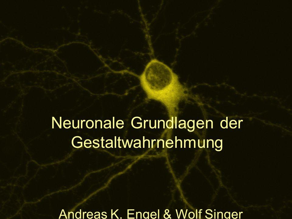 Neuronale Grundlagen der Gestaltwahrnehmung Andreas K. Engel & Wolf Singer Abb.7 28.03.2015Visuelle Wahrnehmung1 Neuronale Grundlagen der Gestaltwahrn
