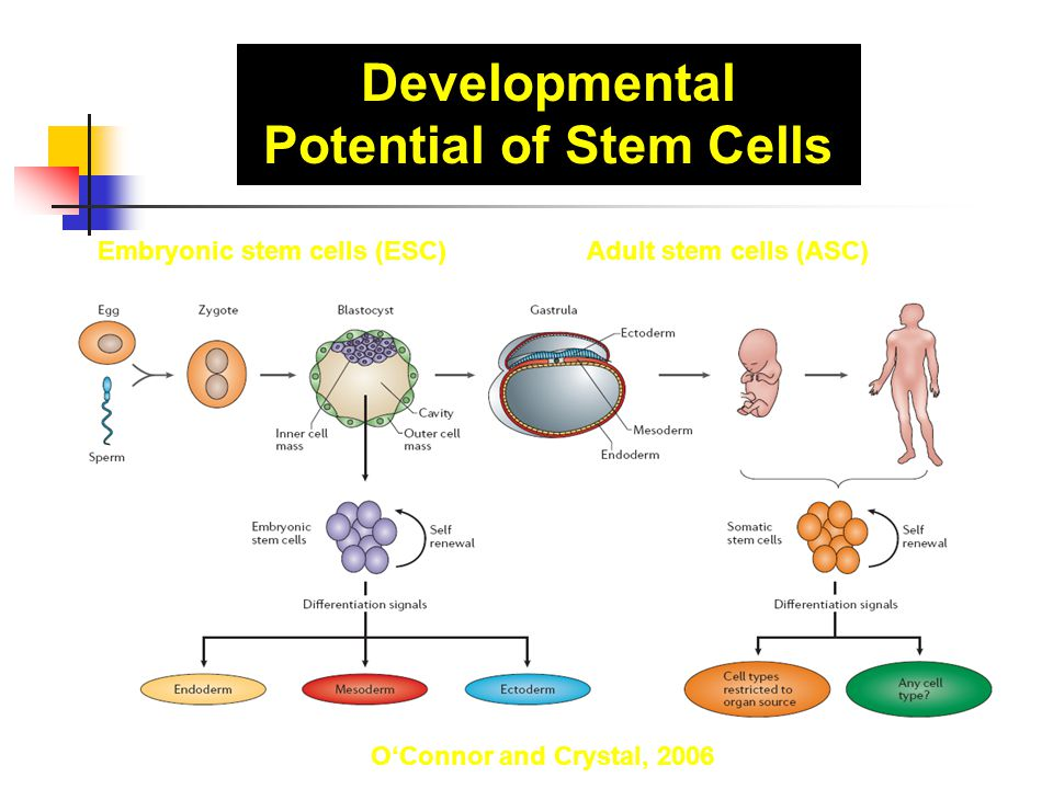 Developmental Potential of Stem Cells 1- unipotent 2- multipotent 3- pluripotent 4- totipotent O'Connor and Crystal, 2006 Embryonic stem cells (ESC)Ad