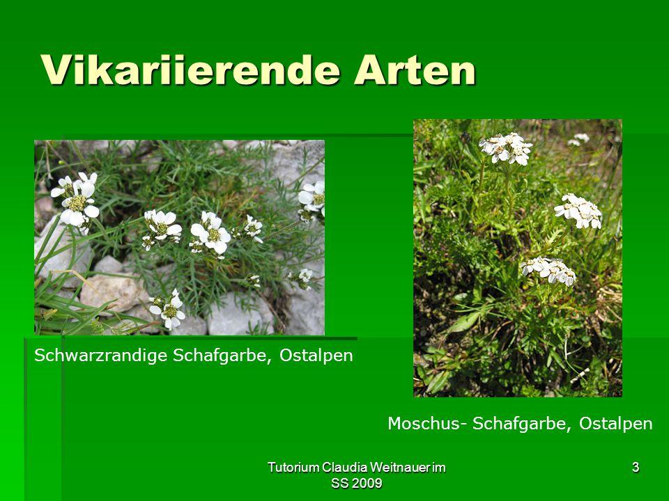Tutorium Claudia Weitnauer im SS 2009 3 Vikariierende Arten Schwarzrandige Schafgarbe, Ostalpen Moschus- Schafgarbe, Ostalpen
