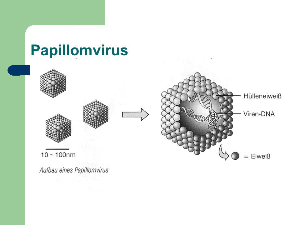 Papillomvirus