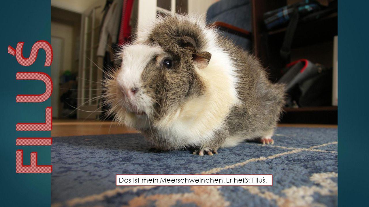 Das ist mein Meerschweinchen. Er heißt Filuś.
