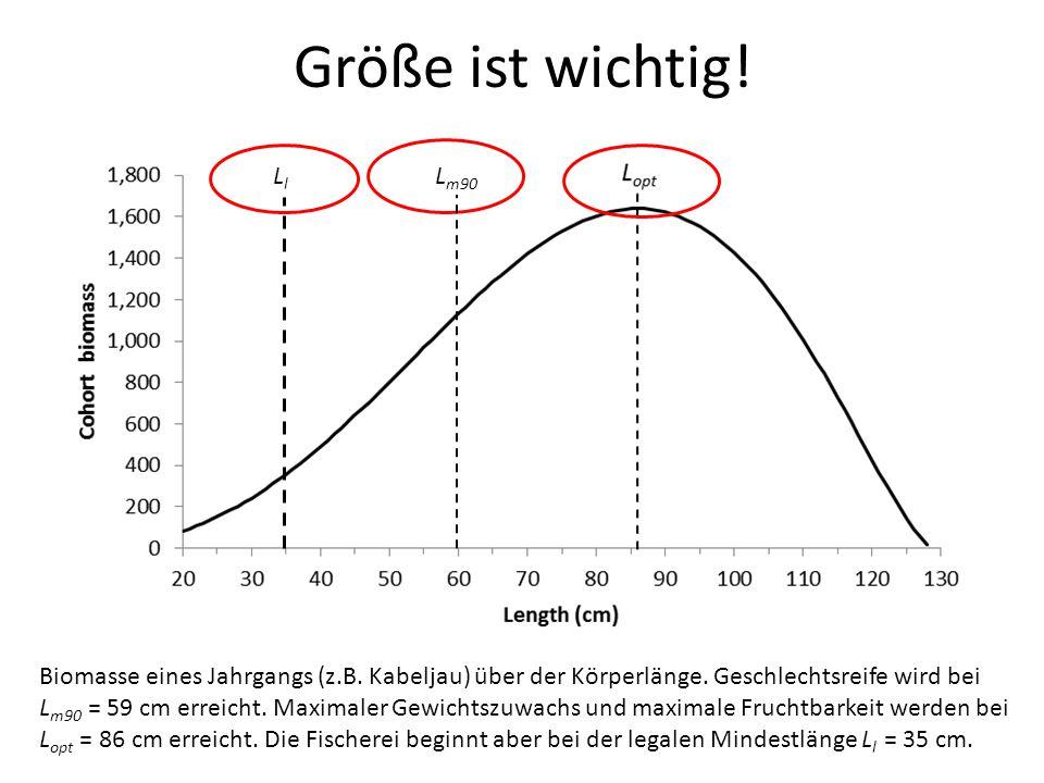 Größe ist wichtig! Biomasse eines Jahrgangs (z.B. Kabeljau) über der Körperlänge. Geschlechtsreife wird bei L m90 = 59 cm erreicht. Maximaler Gewichts
