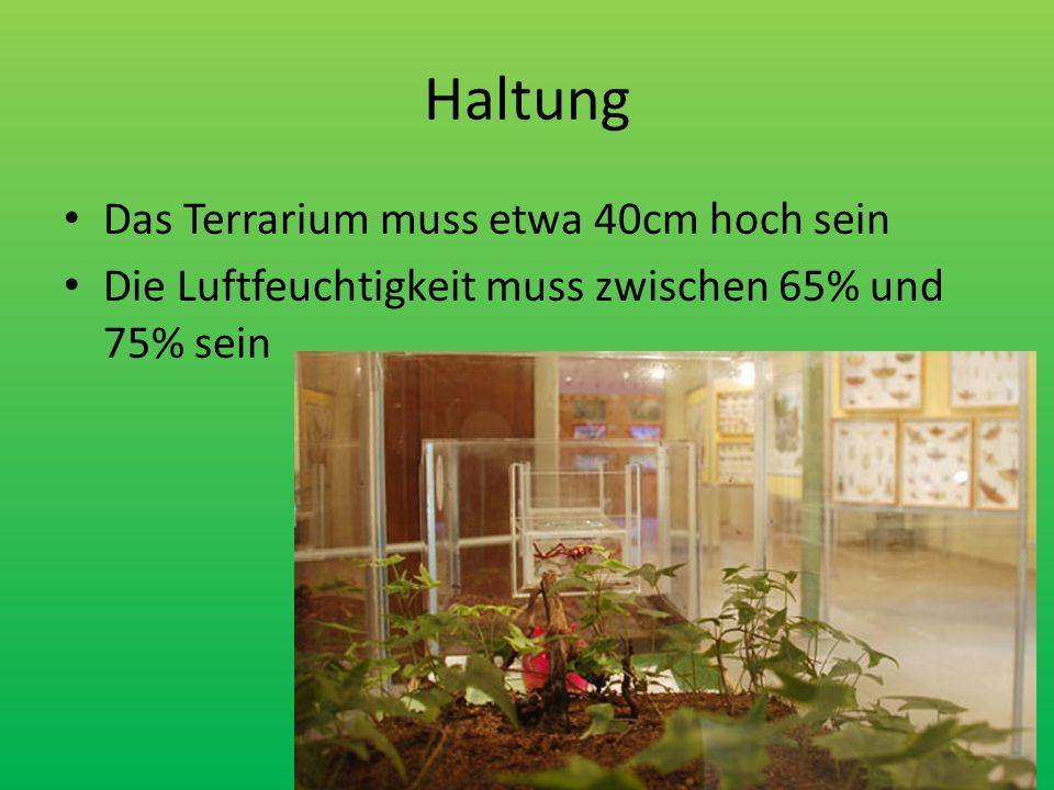 Haltung Das Terrarium muss etwa 40cm hoch sein Die Luftfeuchtigkeit muss zwischen 65% und 75% sein