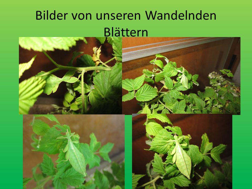 Bilder von unseren Wandelnden Blättern
