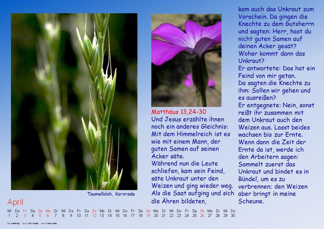 Matthäus 13,24-30 Und Jesus erzählte ihnen noch ein anderes Gleichnis: Mit dem Himmelreich ist es wie mit einem Mann, der guten Samen auf seinen Acker