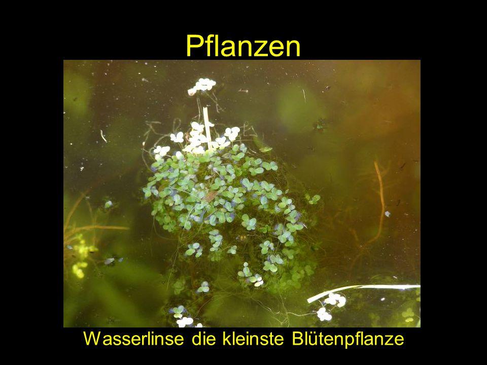 Pflanzen Wasserlinse die kleinste Blütenpflanze
