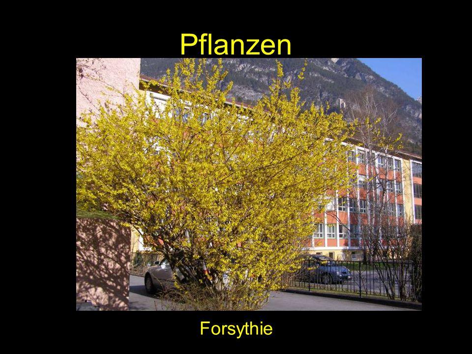 Pflanzen Forsythie