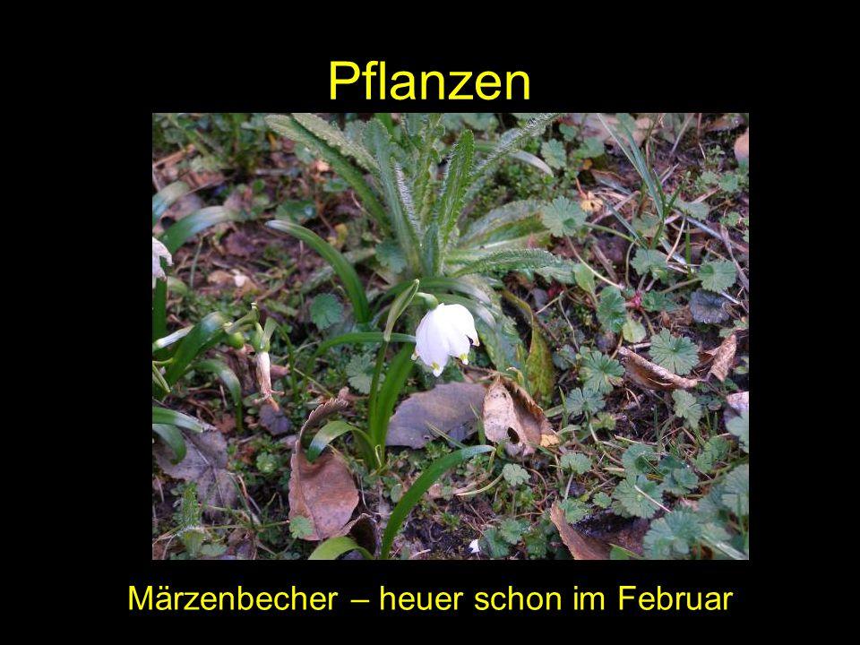 Pflanzen Märzenbecher – heuer schon im Februar