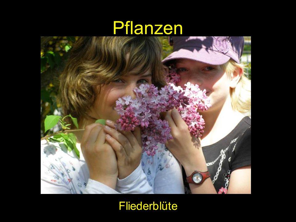 Pflanzen Fliederblüte