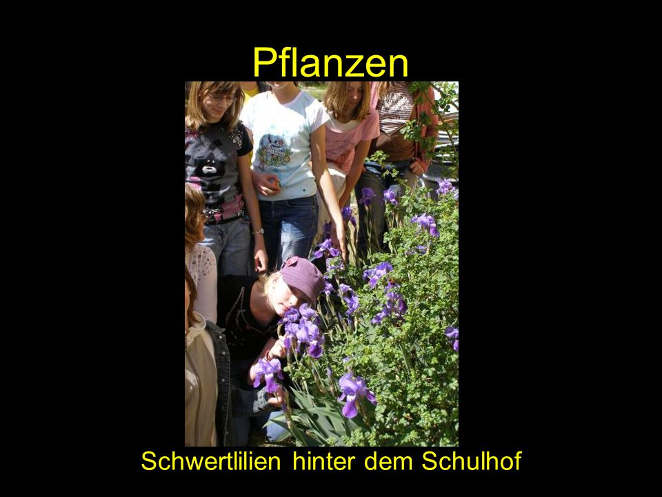 Pflanzen Schwertlilien hinter dem Schulhof
