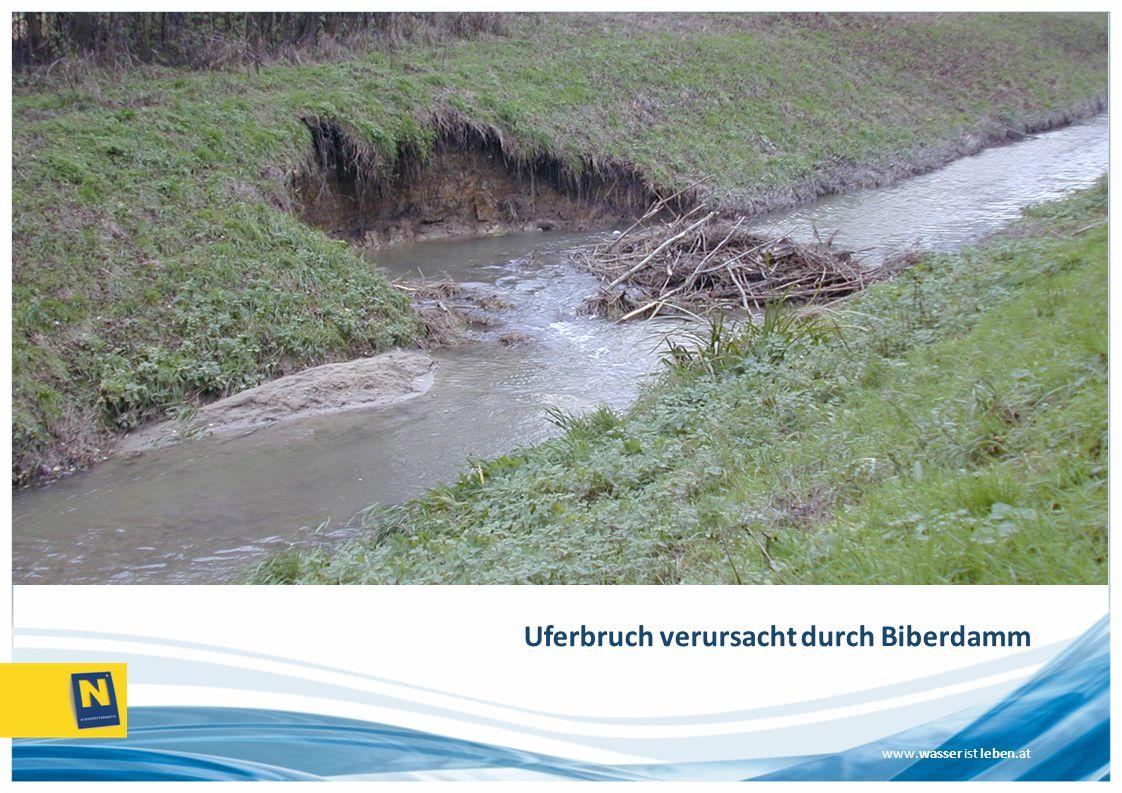 www.wasser ist leben.at Uferbruch verursacht durch Biberdamm
