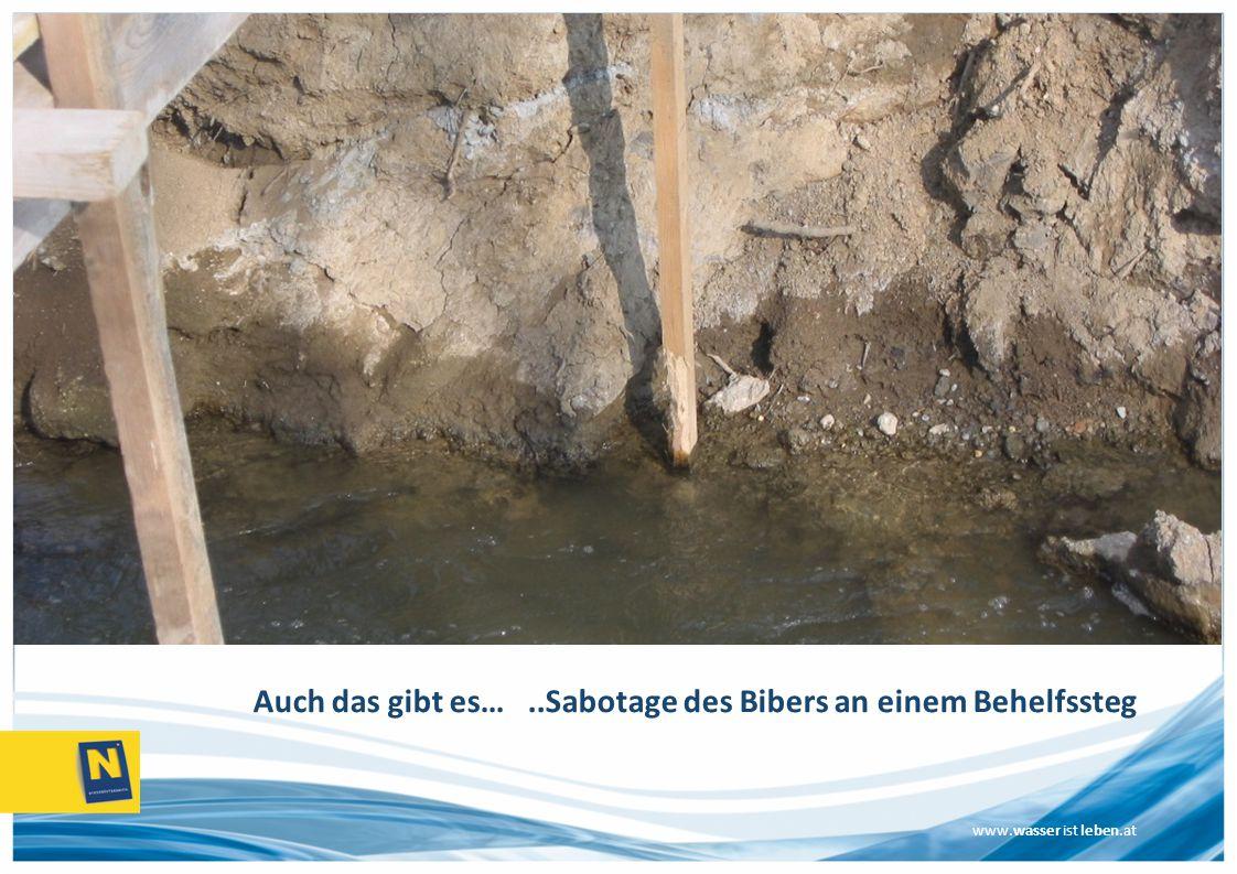 www.wasser ist leben.at Auch das gibt es…..Sabotage des Bibers an einem Behelfssteg