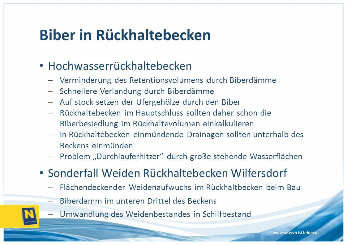 """www.wasser ist leben.at Biber in Rückhaltebecken Hochwasserrückhaltebecken  Verminderung des Retentionsvolumens durch Biberdämme  Schnellere Verlandung durch Biberdämme  Auf stock setzen der Ufergehölze durch den Biber  Rückhaltebecken im Hauptschluss sollten daher schon die Biberbesiedlung im Rückhaltevolumen einkalkulieren  In Rückhaltebecken einmündende Drainagen sollten unterhalb des Beckens einmünden  Problem """"Durchlauferhitzer durch große stehende Wasserflächen Sonderfall Weiden Rückhaltebecken Wilfersdorf  Flächendeckender Weidenaufwuchs im Rückhaltbecken beim Bau  Biberdamm im unteren Drittel des Beckens  Umwandlung des Weidenbestandes in Schilfbestand"""