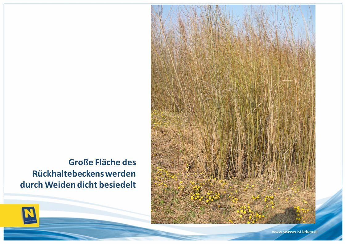 www.wasser ist leben.at Große Fläche des Rückhaltebeckens werden durch Weiden dicht besiedelt