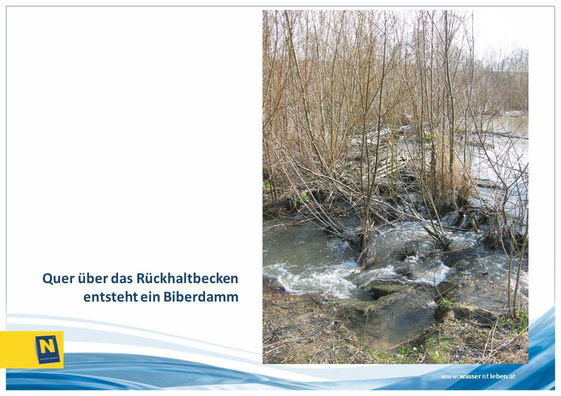 www.wasser ist leben.at Quer über das Rückhaltbecken entsteht ein Biberdamm