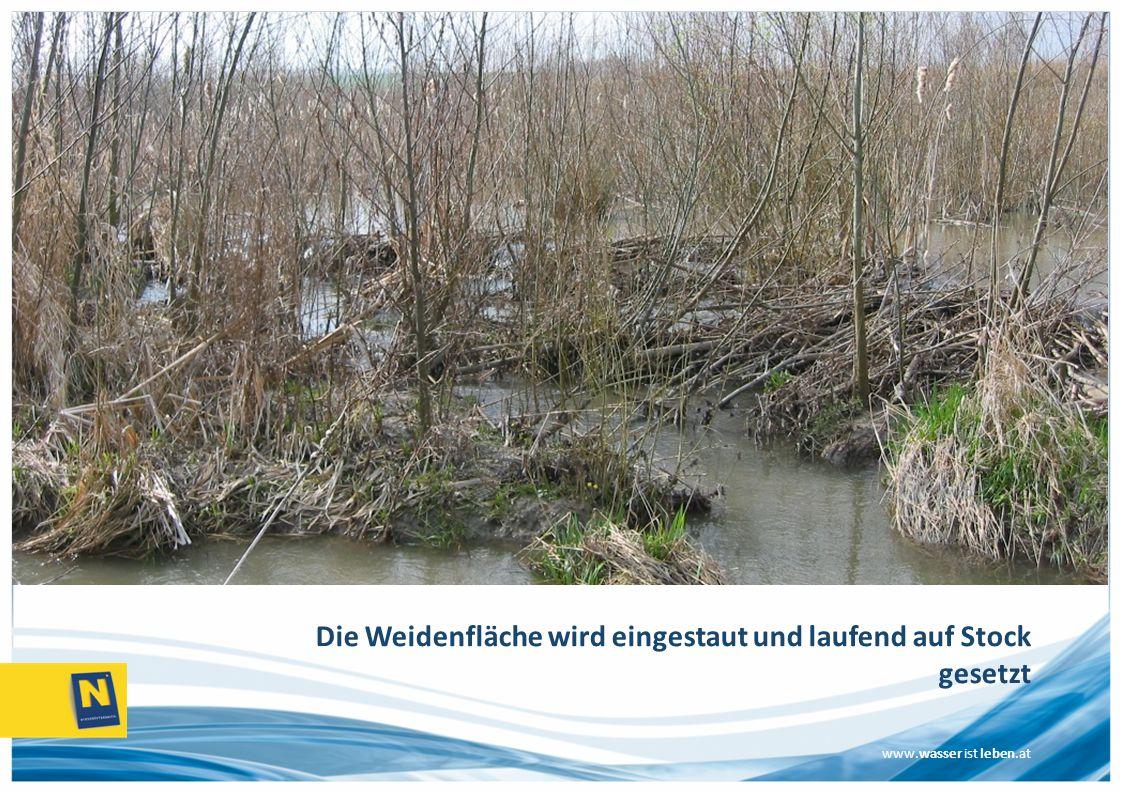 www.wasser ist leben.at Die Weidenfläche wird eingestaut und laufend auf Stock gesetzt