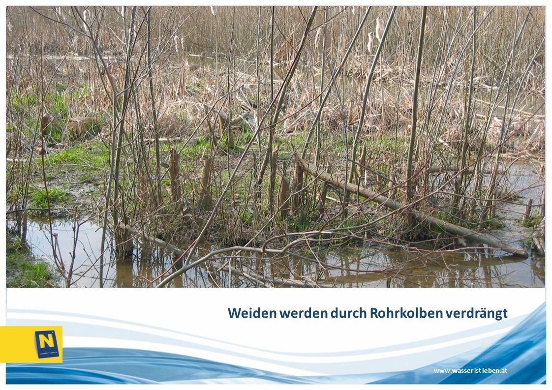 www.wasser ist leben.at Weiden werden durch Rohrkolben verdrängt