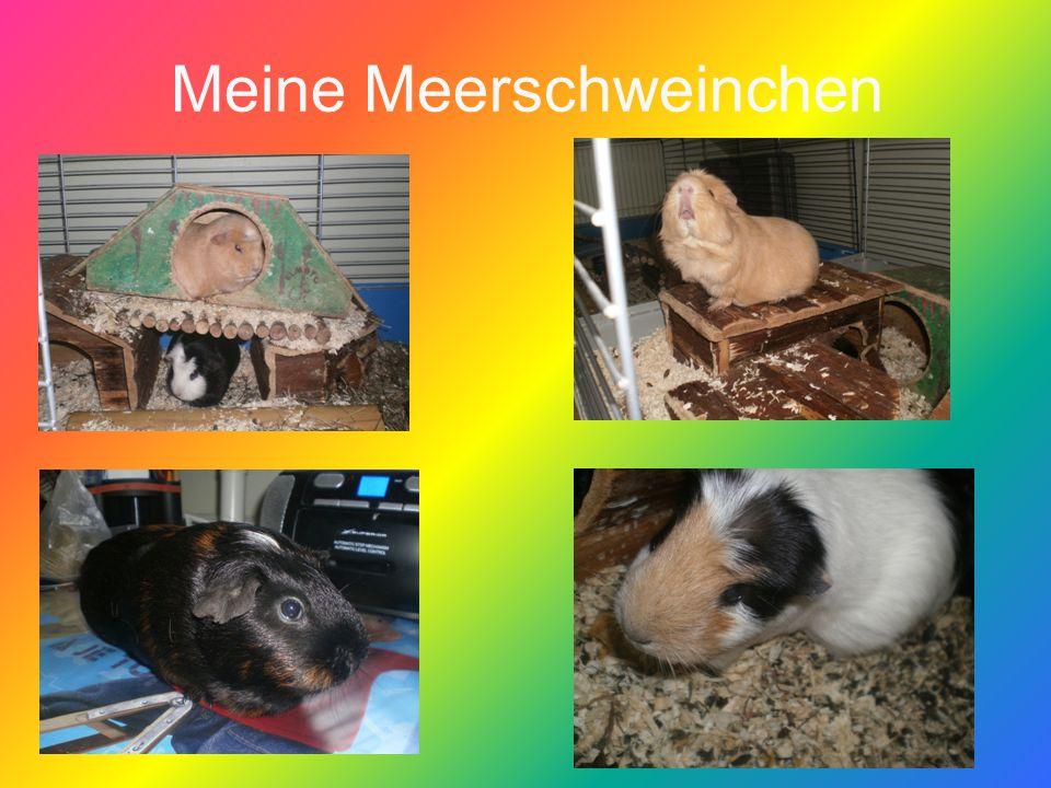 DIE MEERSCHWEINCHEN IMMER WIE MENSCHEN BEHANDELN d.h.