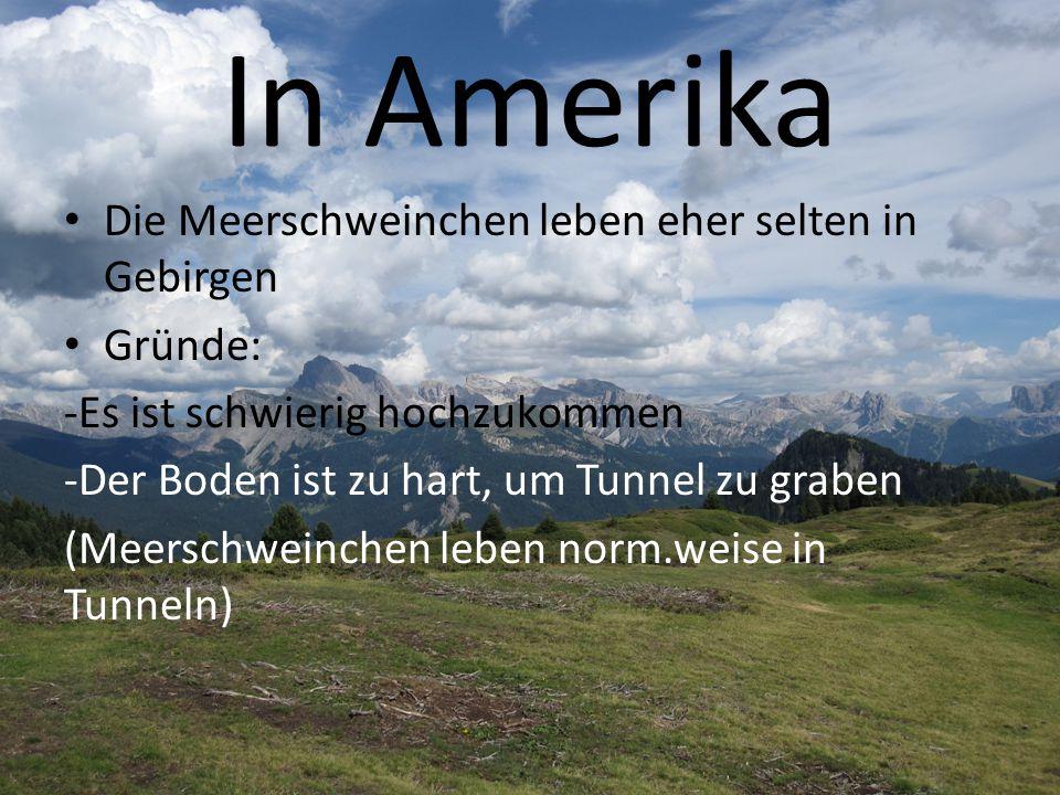 In Amerika Die Meerschweinchen leben eher selten in Gebirgen Gründe: -Es ist schwierig hochzukommen -Der Boden ist zu hart, um Tunnel zu graben (Meers