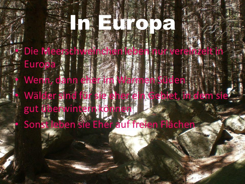 In Europa Die Meerschweinchen leben nur vereinzelt in Europa Wenn, dann eher im Warmen Süden Wälder sind für sie eher ein Gebiet, in dem sie gut überw