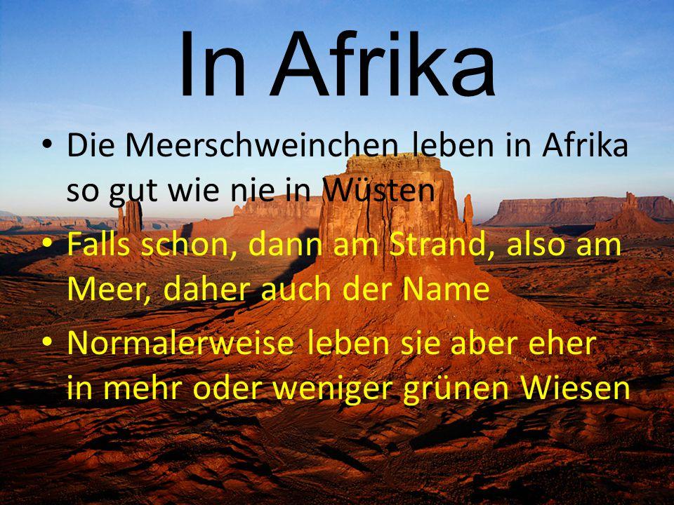 In Afrika Die Meerschweinchen leben in Afrika so gut wie nie in Wüsten Falls schon, dann am Strand, also am Meer, daher auch der Name Normalerweise le