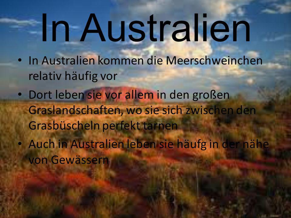 In Australien In Australien kommen die Meerschweinchen relativ häufig vor Dort leben sie vor allem in den großen Graslandschaften, wo sie sich zwische