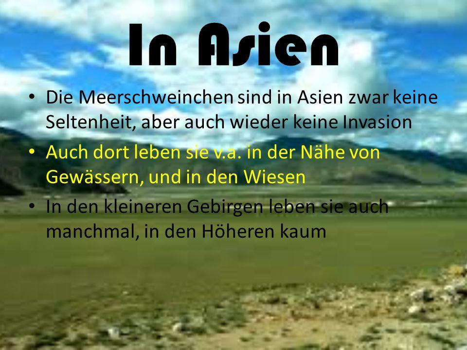 In Asien Die Meerschweinchen sind in Asien zwar keine Seltenheit, aber auch wieder keine Invasion Auch dort leben sie v.a. in der Nähe von Gewässern,