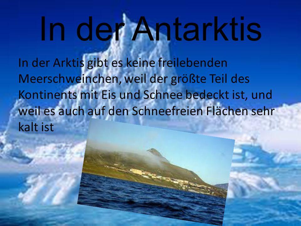 In der Antarktis In der Arktis gibt es keine freilebenden Meerschweinchen, weil der größte Teil des Kontinents mit Eis und Schnee bedeckt ist, und wei