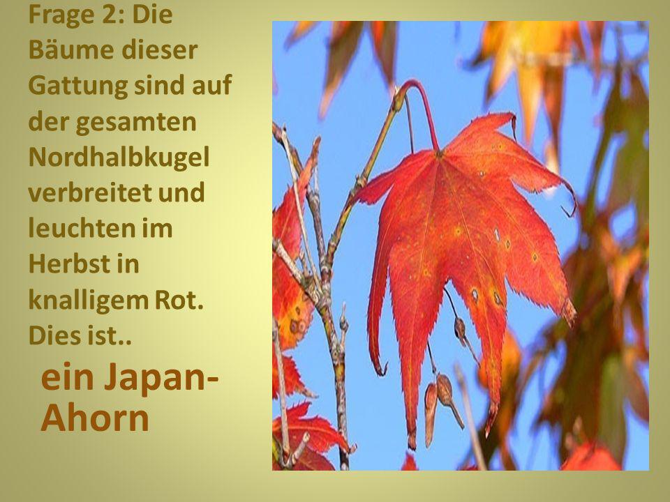 Frage 13: Prachtvoll anzusehen ist auch dieser Kletterstrauch im Herbst. Es ist... eine Weinrebe