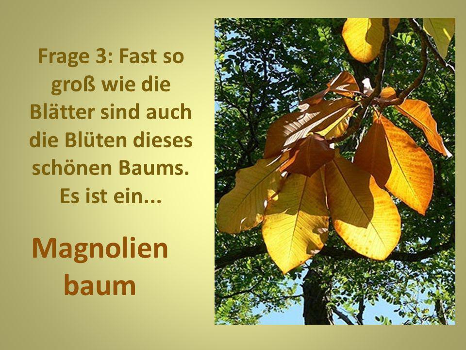 Frage 4: Diese zarten Blätter liegen normalerweis e auf japanischem Boden.