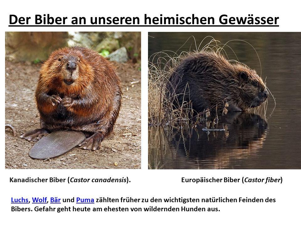 Der Biber an unseren heimischen Gewässer LuchsLuchs, Wolf, Bär und Puma zählten früher zu den wichtigsten natürlichen Feinden des Bibers. Gefahr geht