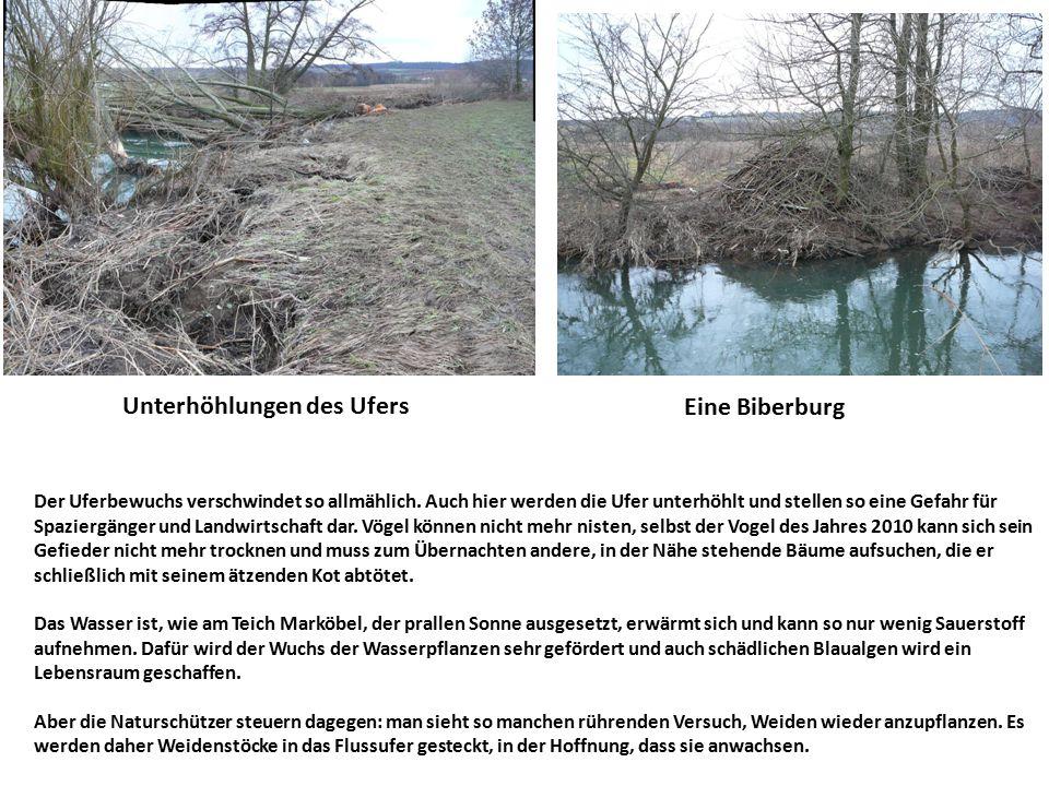 Unterhöhlungen des Ufers Eine Biberburg Der Uferbewuchs verschwindet so allmählich. Auch hier werden die Ufer unterhöhlt und stellen so eine Gefahr fü